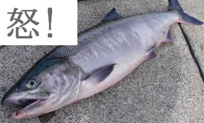 北の国旭川2 鮭.jpg